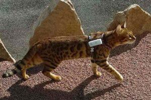 La balise GPS pour chat peut se monter sur un harnais.