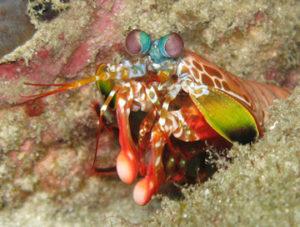 La crevette mante capable d'utiliser la lumière polarisée